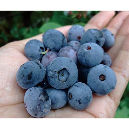 ジャンボブルーベリー 2種2株 - セシール
