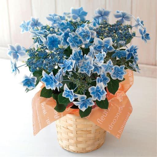 <セシール>【母の日】あじさい「コンペイトウ」ブルー <サイズ>F