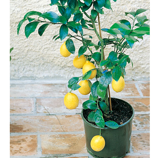 四季成りレモン 1ポット