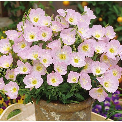 ピンクの昼咲き月見草 4株 - セシール