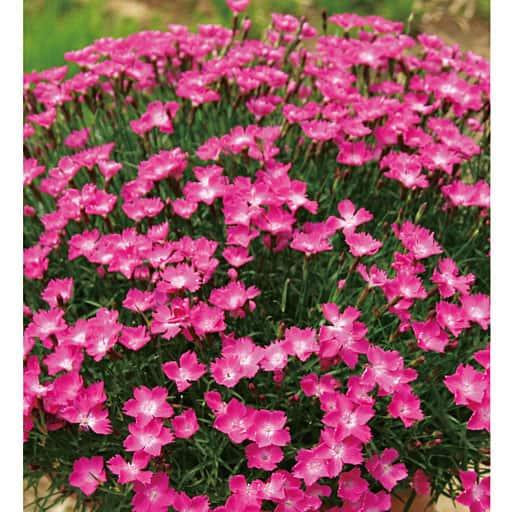 四季咲き芳香なでしこ アナ&かほり 2種2株