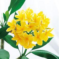 頒布 南国の香る花コース